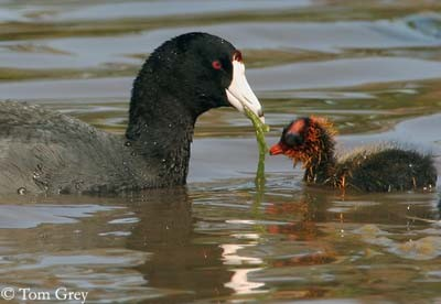 American Coot, with young, eating aquatic plant ©Oiseaux-Tom Grey