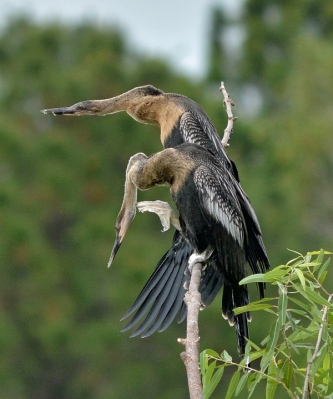 Anhingas Spying ©©