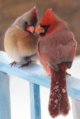 Northern Cardinal Pair ©Media-cache