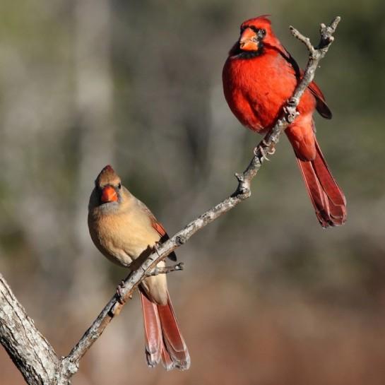 Northern Cardinal Pair ©Photoshelter