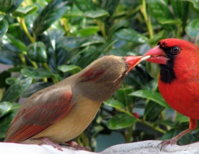 Northern Cardinal Pair ©Wunderground