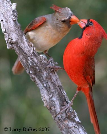 Northern Cardinal Pair ©Firstlighttours
