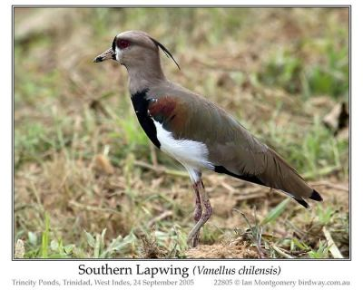 Southern Lapwing (Vanellus chilensis) by Ian