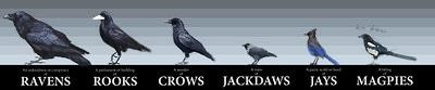 Corvid Chart - Differences Between Types of Corvids ©Autodidactintheattic