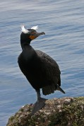 Double-crested Cormorant ©WikiC
