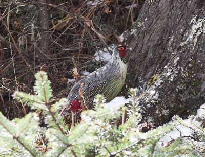 Blood Pheasant (Ithaginis cruentus) ©WikiC