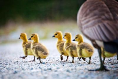 Walking Chicks ©GettyImages-