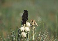 Lark Bunting (Calamospiza melanocorys) ©WikiC