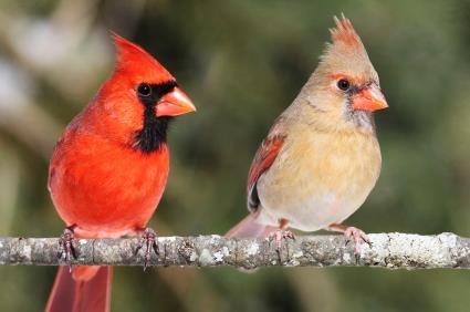 Northern Cardinal M-F ©BackyardBirdLover