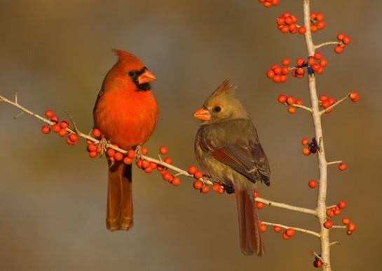 Northern Cardinal M-F ©Billraker