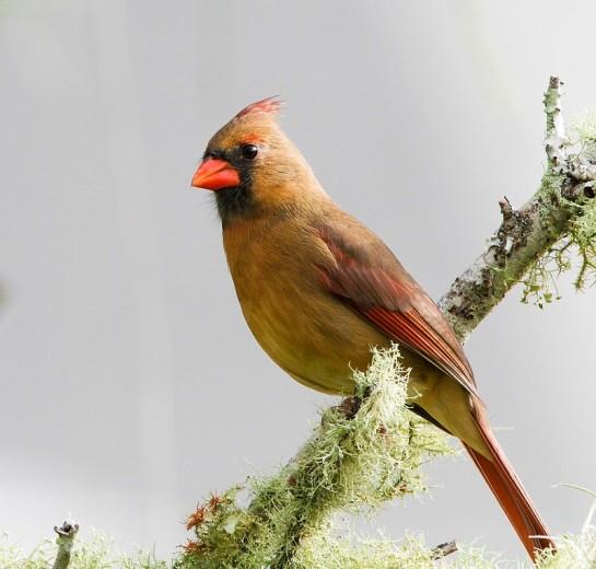 Northern Cardinal Female ©WikiC