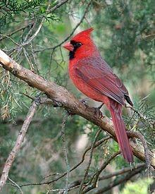 Northern Cardinal Male ©WikiC