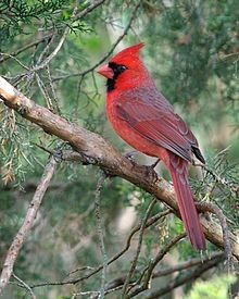 Northern Cardinal Male ©WikiC