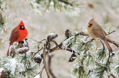 Northern_cardinal M-F in winter storm ©