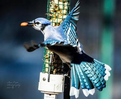 Blue Jay (Cyanocitta cristata) ©Flickr Stan Lupo