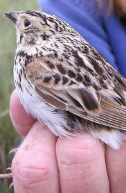 Baird's Sparrow (Ammodramus bairdii) ©USFWS