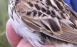 Sparrow Frozen To A Fence –DoDo