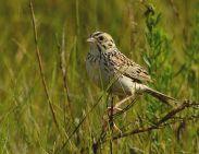 Baird's Sparrow (Ammodramus bairdii) ©WikiC