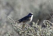 Bell's Sparrow (Artemisiospiza belli) ©WikiC