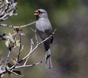 Black-chinned Sparrow (Spizella atrogularis) ©WikiC