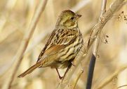Black-faced Bunting (Emberiza spodocephala) Female ©WikiC