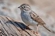 Brewer's Sparrow (Spizella breweri) ©WikiC