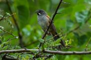 Bridled Sparrow (Peucaea mystacalis) ©WikiC