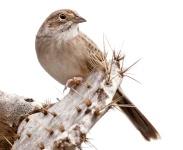 Cassin's Sparrow (Peucaea cassinii) ©WikiC