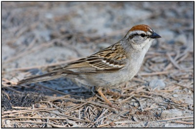 Chipping Sparrow (Spizella passerina) by Daves BirdingPix