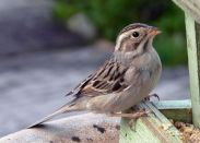 Clay-colored Sparrow (Spizella pallida) ©WikiC