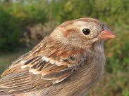 Field Sparrow (Spizella pusilla) ©WikiC