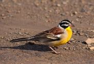 Golden-breasted Bunting (Emberiza flaviventris) ©WikiC