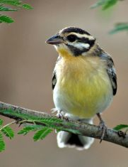 Golden-breasted Bunting (Emberiza flaviventris) Juvenile ©WikiC