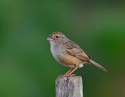 Grassland Sparrow (Ammodramus humeralis) ©WikiC