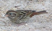 Grey Bunting (Emberiza variabilis) Female ©WikiC