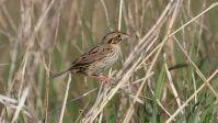 Henslow's Sparrow (Ammodramus henslowii) ©WikiC