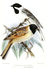 Japanese Reed Bunting (Emberiza yessoensis) ©Drawing WikiC