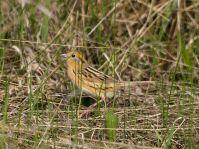 Le Conte's Sparrow (Ammodramus leconteii) ©WikiC