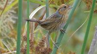 Nelson's Sparrow (Ammodramus nelsoni) ©WikiC