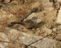 Oaxaca Sparrow (Aimophila notosticta) ©WikiC