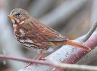 Red Fox Sparrow (Passerella iliaca) ©WikiC