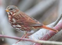 Red Fox Sparrow (Passerella iliaca) ©WikiC