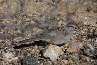 Rufous-winged Sparrow (Peucaea carpalis) ©WikiC