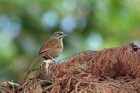 Rusty Sparrow (Aimophila rufescens) ©WikiC