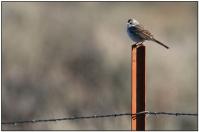 Sagebrush Sparrow (Amphispiza belli)by Daves BirdingPix