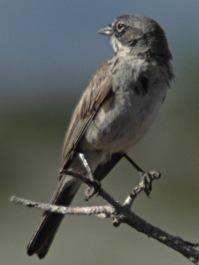 Sagebrush Sparrow (Artemisiospiza nevadensis) ©Wiki