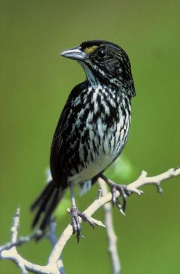 Seaside Sparrow (Ammodramus maritimus) (Dusky-extinct) ©WikiC
