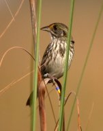 Seaside Sparrow (Ammodramus maritimus mirabilis) (Cape Sabel) ©WikiC