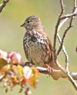 Slate-colored Fox Sparrow (Passerella schistacea) ©WikiC