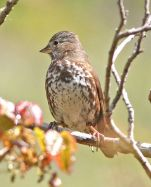 Slate-colored Fox Sparrow (Passerella schistacea) ©WikiC